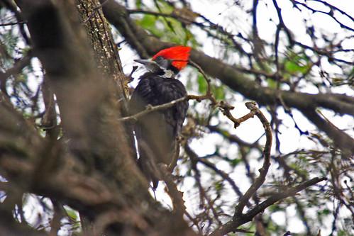 Black-bodied Woodpecker (3) copy by birdmanbdeder.