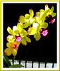 Dendrobium Chaisri Gold 'Hawaii' at our backyard