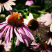 A Bee Visits a Coneflower