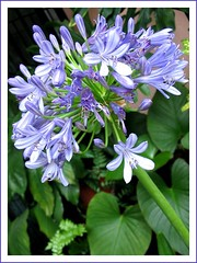 Agapanthus (African Blue Lily, Lily of the Nile) in our garden, shot Jan 2008