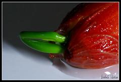 Nascimento esperado! (isabelavistue) Tags: nelumbonucifera flordelotur