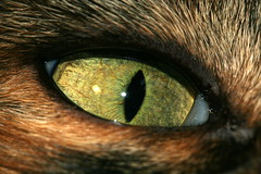 reflections in a cat's eye (kees straver (will be back online soon friends)) Tags: pet cats macro eye amsterdam animal closeup cat eyes feline kitty whiskers diemen catseye deloris cateye abigfave impressedbeauty betterthangood goldstaraward keesstraver tropicalblizzard