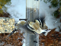 This belongs to ME (terrygray) Tags: yard moscow feeder idaho pinesiskin americangoldfinchs