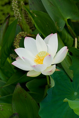 Magnificent Lotus Flower (Craig Jewell Photography) Tags: pink white flower green water beautiful beauty leaves yellow iso100 pod lotus brisbane f71 lotusflower romastreetparklands 1250sec pentaxk10d justpentax aserieslens cpjsm craigjewellphotography