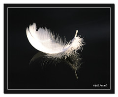 Swan Feather (Recycled Teenager (NORFOLK IMAGES)) Tags: thames river reading swan feather floating riverthames caversham swansfeather almostanything wowiekazowie coolestphotographers goldstaraward