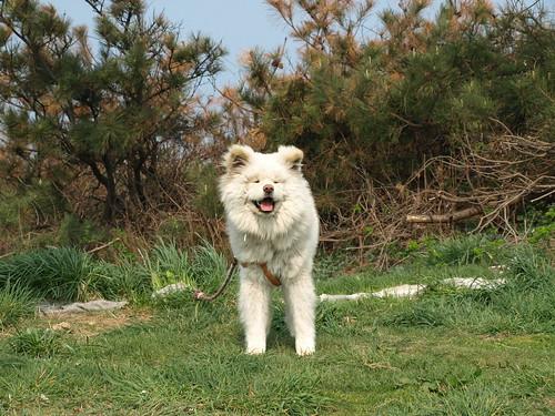 イカの町で出会ったモジャモジャ犬「わさお」 - メレンゲが ...