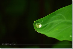 Living Dangerously! (Shabbir Ferdous) Tags: macro green art nature water waterdrop photographer bangladesh dinajpur waterdroplet bangladeshi canoneosrebelxti shabbirferdous kochupata sigmazoomtelephoto70300mmf456apodgmacro wwwshabbirferdouscom shabbirferdouscom
