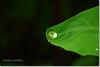 Living Dangerously! (Shabbir Ferdous) Tags: macro green art nature water waterdrop photographer bangladesh dinajpur waterdroplet bangladeshi canoneosrebelxti shabbirferdous kochupata sigmazoomtelephoto70300mmf456apodgmacro wwwshabbirferdouscom shabbirferdouscom