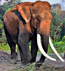 "NEPAL, Royal Chitwan-Nationalpark, im Elefantencamp der Rangers, (serie),  15248/7953 (roba66) Tags: elefant elephant camp elephantcamp reisen travel explore voyages roba66 visit urlaub nepal asien asia südasien ""royal chitwannationalpark"" nationalpark nature natur naturalezza tier tiere animal animals creature tf"