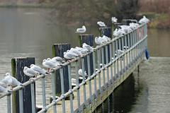 Iffley Lock fence! (RiverCrouchWalker) Tags: iffleylock iffley oxford oxfordshire gulls fence fencefriday happyfencefriday winter january 2017