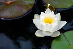 Lilly (StephenReed) Tags: atlanta nature water georgia pond south atlantabotanicalgarden lillypads waterlilly mywinners nikond80