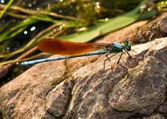 Red-Winged Damselfly By Brook, , Mnais strigata (Male) (aeschylus18917) Tags: park macro nature japan insect tokyo nikon dragonfly g micro   saitama nikkor damselfly f28 vr hanno saitamaken odonata koma 105mm  insecta zygoptera  105mmf28   kinchakuda 105mmf28gvrmicro saitamaprefecture  d700 nikkor105mmf28gvrmicro  danielruyle aeschylus18917 danruyle druyle     hann hannshi kichakudapark kinchakudapark mnaisstrigata