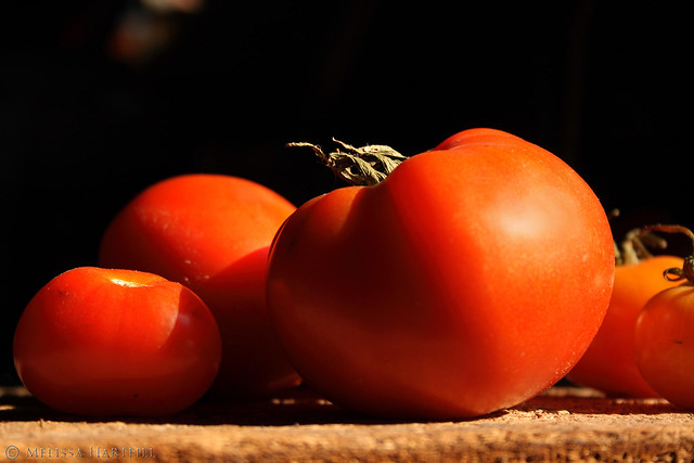 Harvested tomatoes in the sunshine