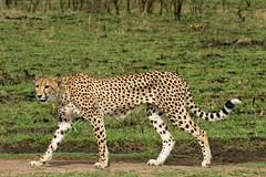 Cheetah (All AJAR) Tags: wild animal female canon southafrica cheetah dslr potofgold allajar