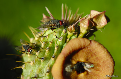 Flies on a Hoodia gordonii by Martin_Heigan