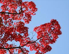 Momiji /  (Jon Christall) Tags: blue autumn red fall leaves japan maple kyoto fallcolors bluesky autumncolours autumncolors momiji japanesemaple     acerpalmatum redleaves fallcolours