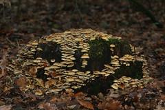 (kees straver (will be back online soon friends)) Tags: autumn fall mushroom netherlands herfst nederland fungus toadstool paddestoel zwam 100mmf28macrousm keesstraver