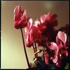 Merry Christmas! (HASSELBLAD 500C/M) (potopoto53age) Tags: christmas xmas pink flowers plant flower 6x6 japan zeiss t kodak hasselblad extension merrychristmas ektachrome cyclamen yamanashi planar kodakektachromee100g 80mm 500cm hassel carlzeiss hasselblad500cm e100g pinkcyclamen aplusphoto diamondclassphotographer flickrdiamond carlzeissplanar80mmf28t flowerwatcher