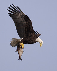 _TEP0010-1Catch of The Day (tperry111(Thom)) Tags: nature birds wildlife eagles conowingo specanimal abigfave impressedbeauty avianexcellence theperfectphotographer