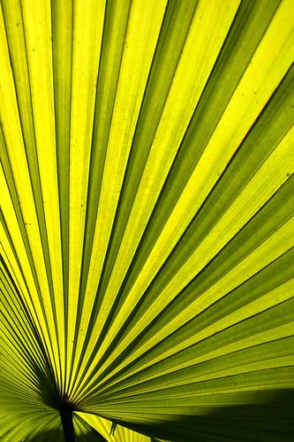 licuala palm