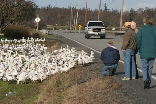 Snow Geese attracting a crowd