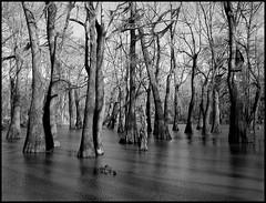 cypress swamp (schromann) Tags: fleur mississippi moss bald jackson le swamp cypress bluff