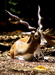 Antelope (Murfomurf) Tags: beautiful african handsome horns curly antelope curled plains delicate survivor