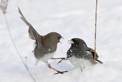 (#122) A Quarrel (tinyfishy) Tags: bird dark flying inflight junco eyed fighting soe naturesfinest mywinners diamondclassphotographer ysplix betterthangood