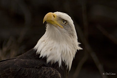 Cowlick (zpaperboyz) Tags: canada bird photography photo  bc image eagle canon20d tail wing baldeagle picture feather pic talon photograph blanche tte princerupert haliaeetus leucocephalus tamronlens seeadler pygargue anawesomeshot chadgraham avianexcellence beakeye weiskpfiger