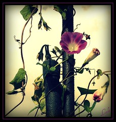 Morning Glory (Kuzeytac) Tags: life flower color colour macro green nature turkey geotagged spring trkiye turkiye istanbul makro geotag leyla hayat bahar iek yeil lsi doa tabiat fantasticflower hpphotosmartm425 kuzeytac atqueartificia copyrightedallrightsreserved aqualityonlyclub