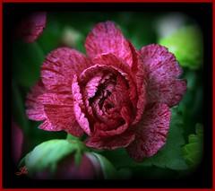 Flower (bonksie61) Tags: red white flower green smörgåsbord digitalcameraclub avision superbmasterpiece almostanything wonderfulworldofflowers ♪♪♪kartpostalpostcard♪♪♪