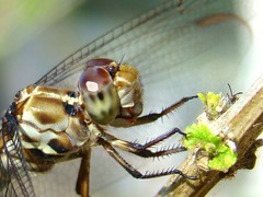 Dragonfly closeup macro (bansheed) Tags: macro closeup flying wings dragonflies insects bugs