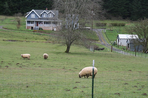 Sheep at my favorite farmhouse