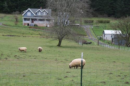 Sheep at my favorite farmhouse