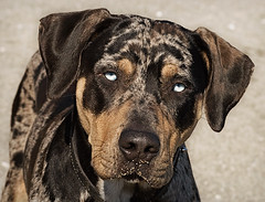 Catahoula! (Piotr Organa) Tags: portrait dog pet toronto canada cute animal adorable takeabow catahoula blueribbonwinner aplusphoto diamondclassphotographer flickrdiamond pet1000 pet2000 pet1500 pet3000 pet4000 pet5000