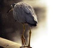 walk off (saraziz) Tags: bird beach birds fishing melbourne greatoceanroad saraaziz