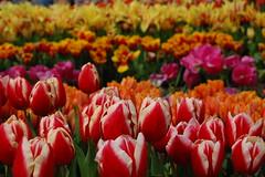 Tulips at Eden
