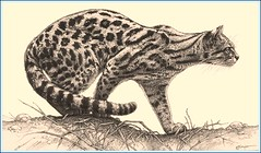 'Focused Feline' - Marguay Wildcat - Fine Art Pencil Drawings  www.drawntonature.co.uk (kjhayler) Tags: pictures wild blackandwhite cats art nature monochrome pencil cat print poster landscapes sketch artwork feline artist natural image pics drawing wildlife picture illustrations drawings images naturalhistory study leopard posters leopardprint prints spotted panthers sketches panther printed ocelot leopardskin predators wildcats pencildrawing wildanimals lepard leopards endangeredspecies leapord pencildrawings animalscats artcat spottedcats catsketch leapords leopardcat picturesofcats lepards marguay drawingsdrawings leopardsafrican endangeredleopards picturesleopards animalleopards picturescat illustrationscat imagescat imagesmall