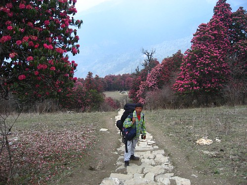 Nima, our porter, amongst the rhodedendrons