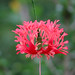Hibiscus schizopetalus close-up
