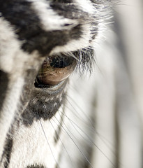 Zebreye (sillablu74) Tags: macro eye loveit micro zebra occhio isawyoufirst platinumheartaward