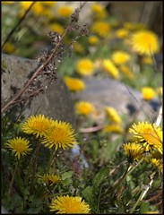 Dandelions (Kirsten M Lentoft) Tags: flower yellow dof dandelion specnature abigfave momse2600 flickrelite thegoldenmermaid goodmorninghug mmmmmmmuahhhhhhhh kirstenmlentoft