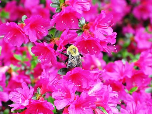 Azaleas, Bee