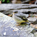 YOUNG GREY WAGTAIL (1000 MM LENS HAND HELD)