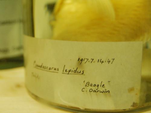 Pseudoscarus lepidus