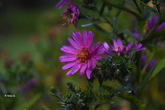 A day spent without worries and hopes in the here and now is to be immortal for one day (heikecita) Tags: herbst autumn plant pflanze natur nature wesel lüneburger heide blume nikond7200