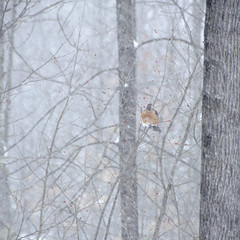 (amy20079) Tags: nikond5100 newengland maine bird winter snowstorm snow animal trees noreaster americanrobin robin