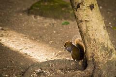 A las Últimas Luces (sierramarcos14695) Tags: tintal peten guatemala ardilla anima animal roedor comiendo peludo arboles luces tarde sol explorando viaje travel sony a58