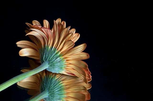 Gerbera Reflection