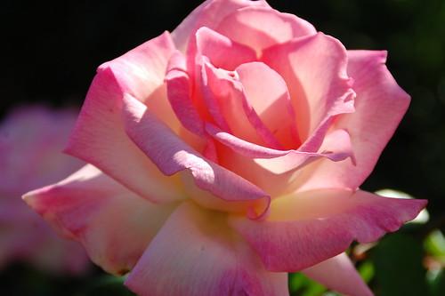 June 2011:  Roses in the Backyard